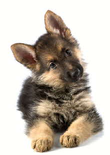 purebred Alpha German Shepherd Puppy with Championship potential